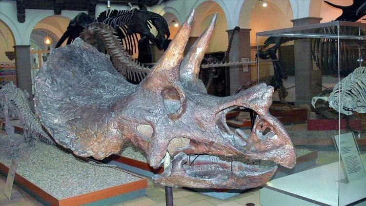 Палеонтологический Музей Мюнхена. Голова чудовища - трицерапторса.